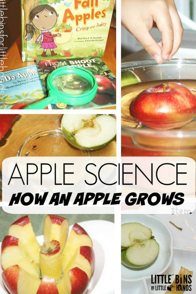 Apple Science Activity How An Apple Grows for Preschool and Kindergarten Science Fall Apple Theme