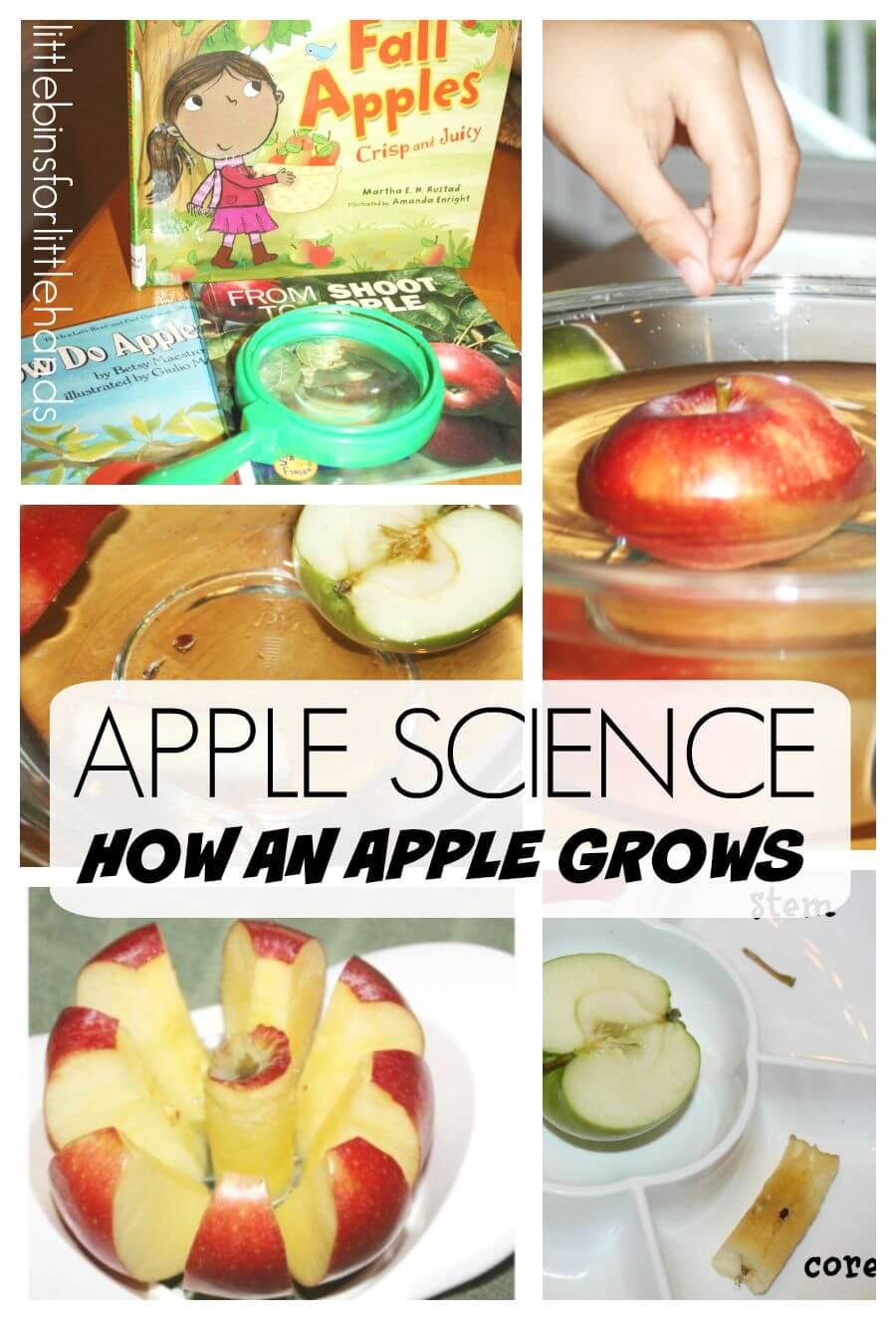 Apple Science Preschool Apple Activity How An Apple Grows Fall Science