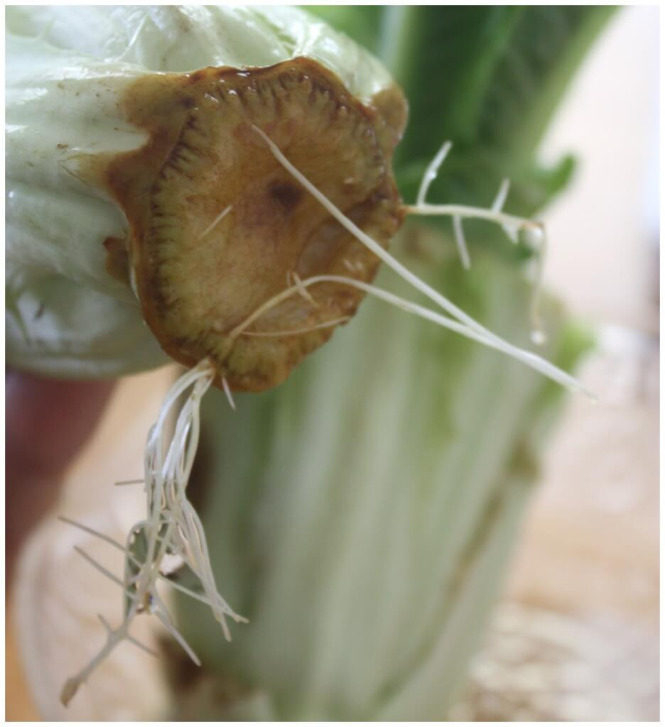 Regrow lettuce roots