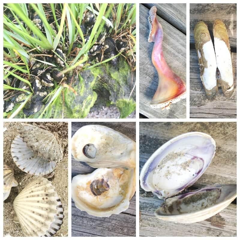 Beach Learning Activities What Lives Inside A Shell