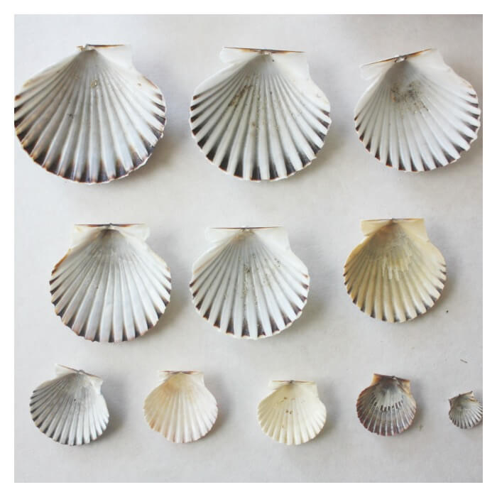 Seashells Math Activity Order Of Size with scallop shells