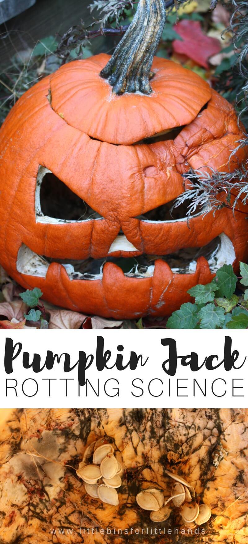 This fall check out the Pumpkin Jack book and try out this awesome kid science with a rotting science Pumpkin Jack activity! Check out mold up close at your Pumpkin Jack rots this fall season. Plant your own Pumpkin Jack and see what happens in the spring.