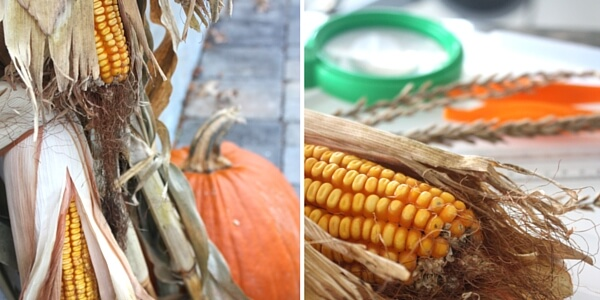 Fall Corn Investigation Activity Thanksgiving Science STEM Activity