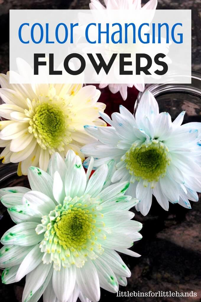 Color changing flower science Spring STEM activity