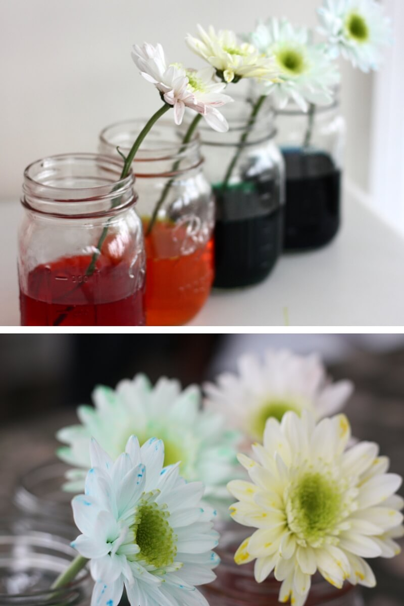 Color Changing Flower Science Experiment Spring STEM