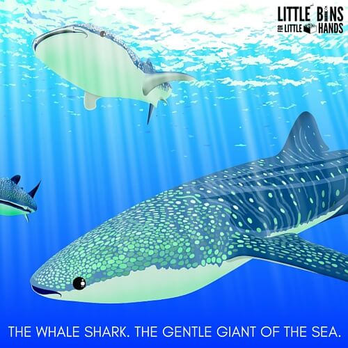 THE WHALE SHARK. THE GENTLE GIANT OF THE SEA