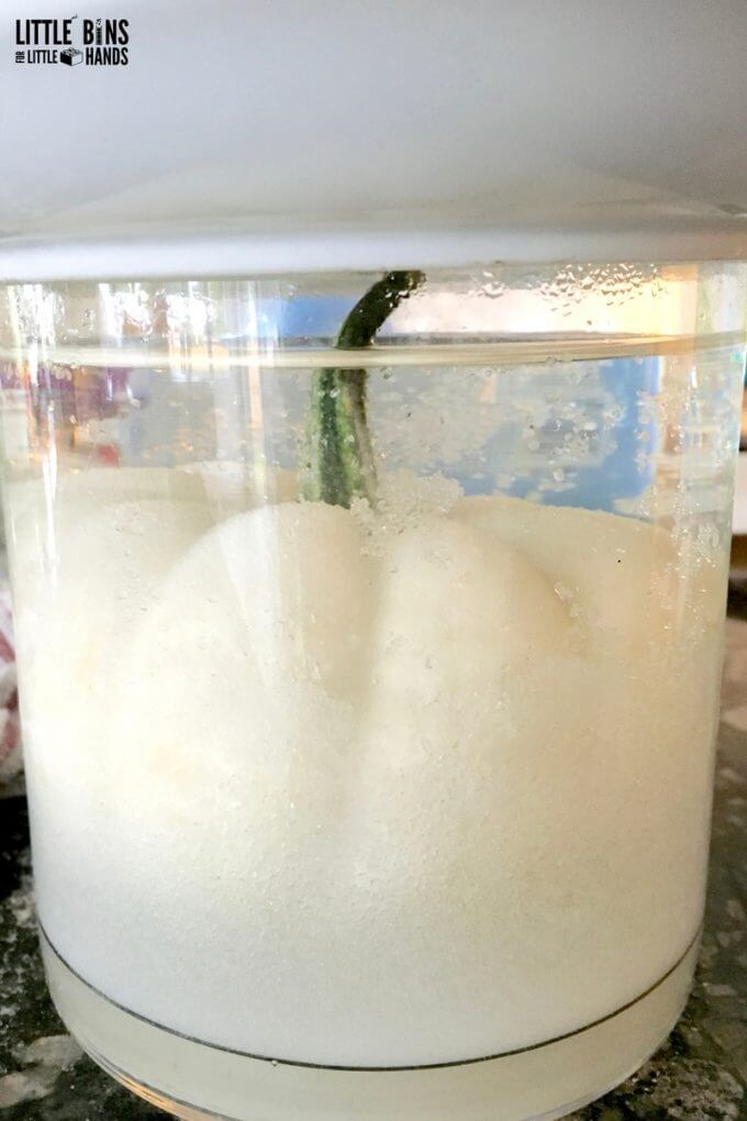 Borax Crystal Growing Solution with White Pumpkin
