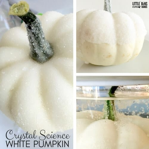 crystal pumpkin suspension science white pumpkin stem chemistry