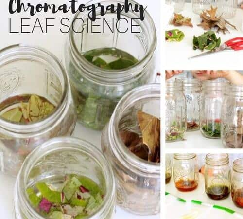 Leaf Chromatography Science Experiment for Fall STEM Activities