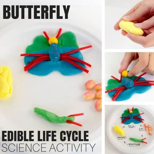 Edible butterfly life cycle science for kids