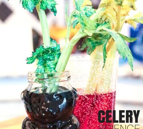 Celery Osmosis Science Experiment for Kids