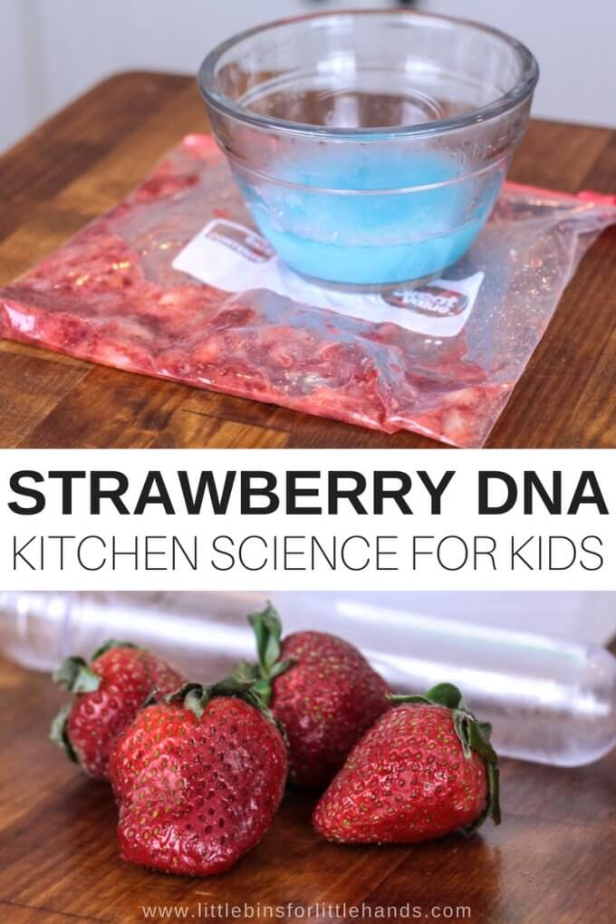 Anytime we can pop into the kitchen to try NEW and COOL science, I am all for it. Have you ever seen DNA up close? My guess is no! This strawberry DNA science activity is perfect for your budding scientist to experiment with in the kitchen. Smashed strawberries, DNA you can see, and an AMAZING new learning experience!