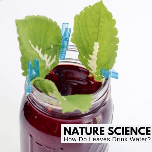 easy science fair project - capillary action in plant leaves