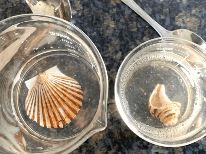 testing seashells with vinegar